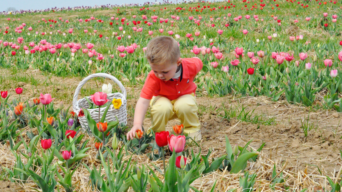 Washington DC Family Fun Events for Kids Spring Tulips Flower Picking at Burnside Farms Virginia family friendly family travel