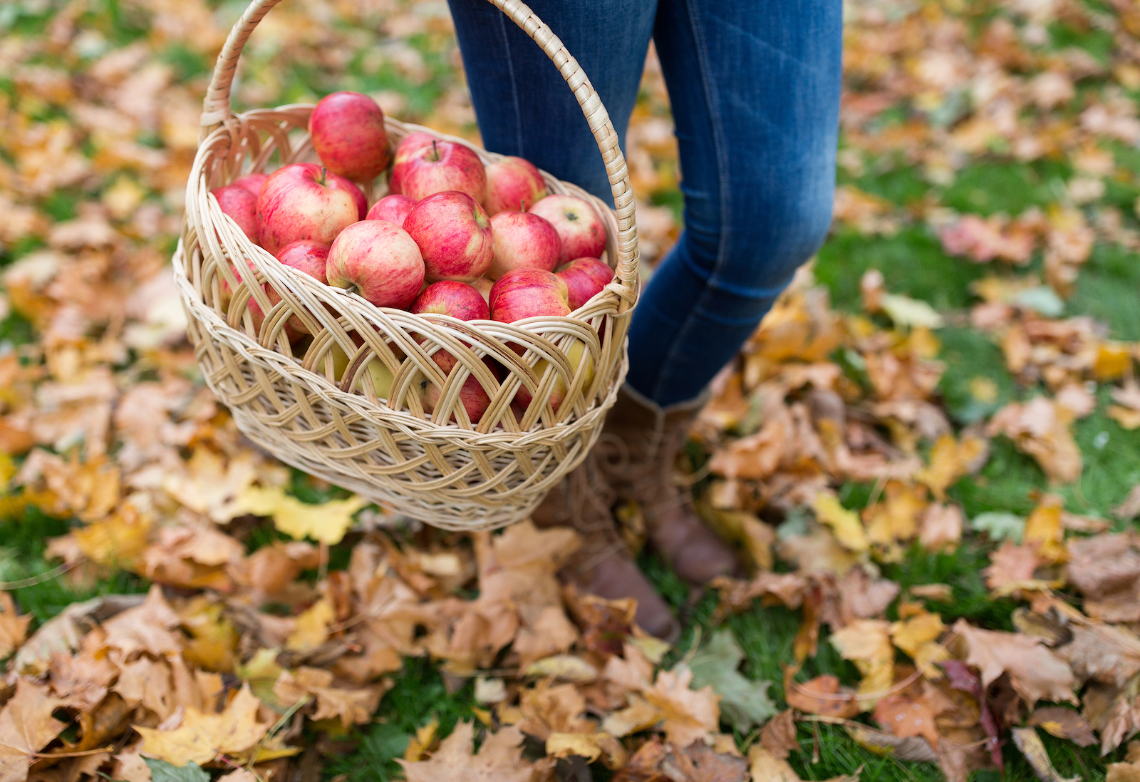 Apple orchard - apple picking farms
